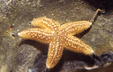 Common Starfish (Photograph by Andy Horton)