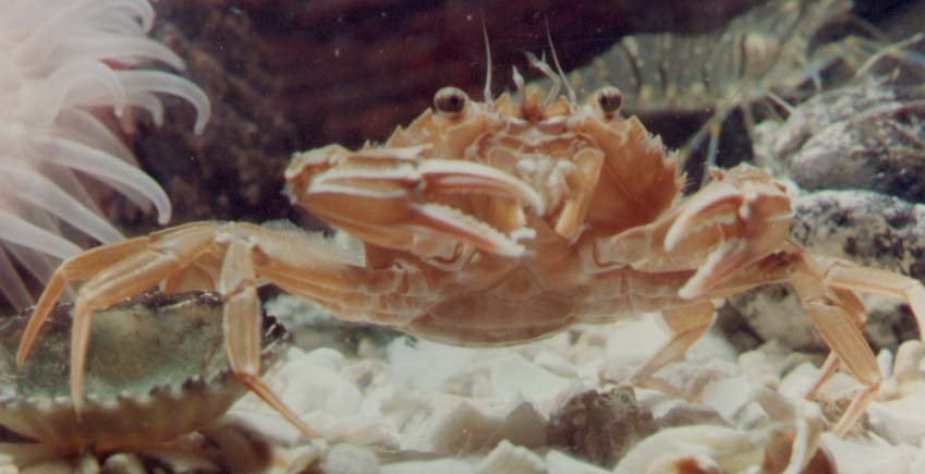 Sandy Swimming Crab, Liocarcinus depurator