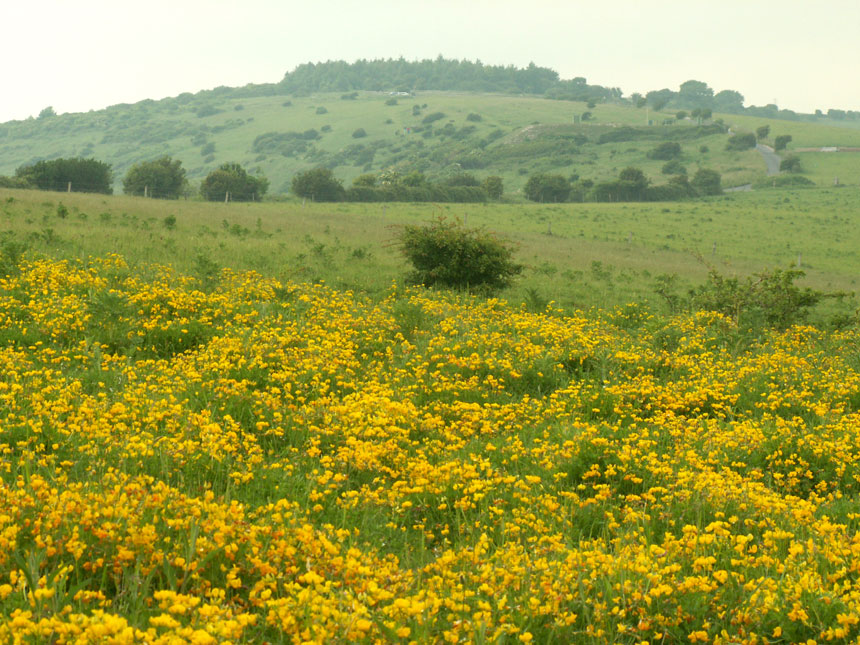 Swathes of Bird's Foot Trefoil with the copse at Mill Hill in the background