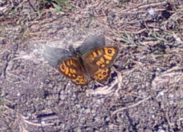 Wall Brown (Photograph by Andy Horton)